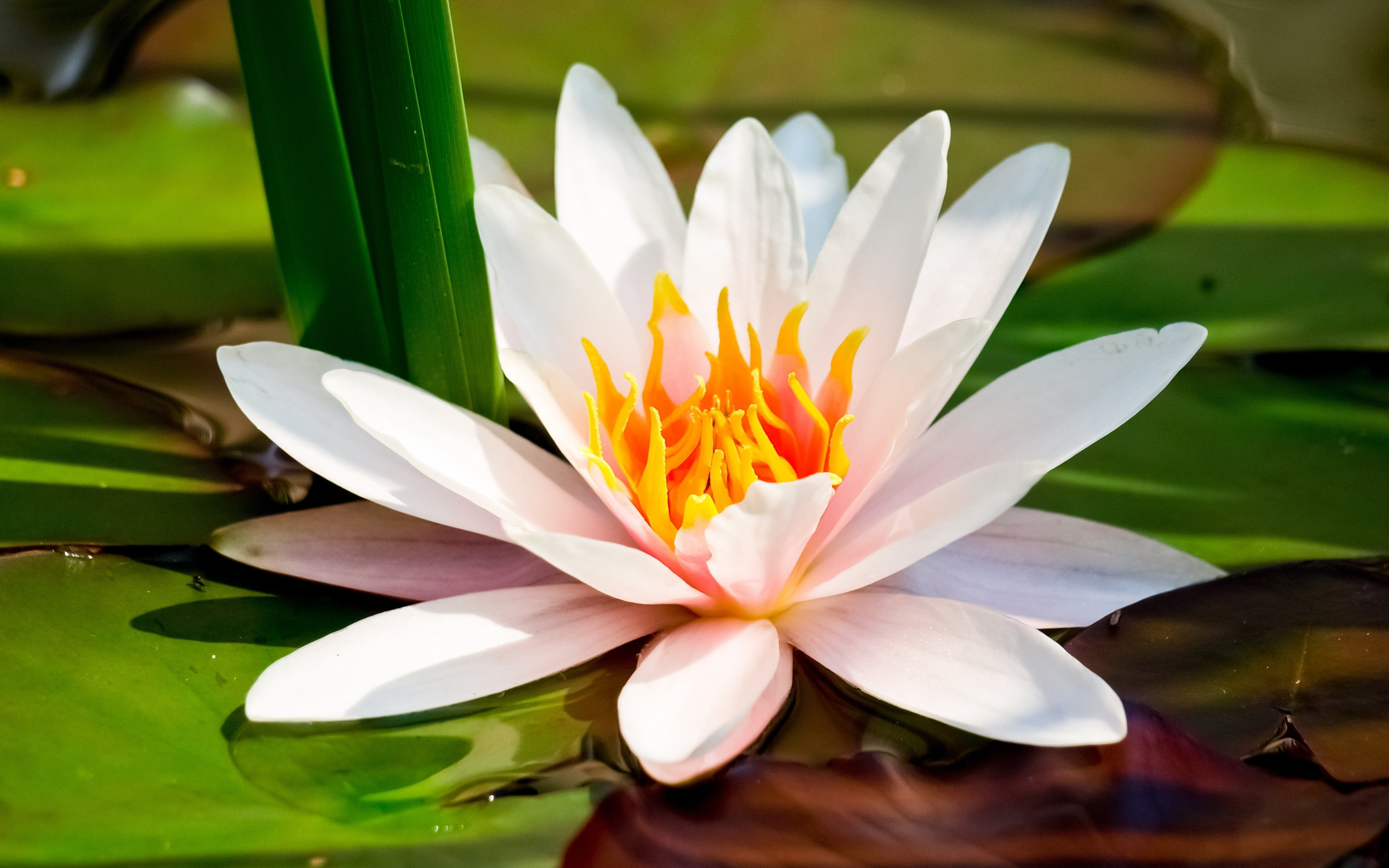 Pictures Of White Lotus