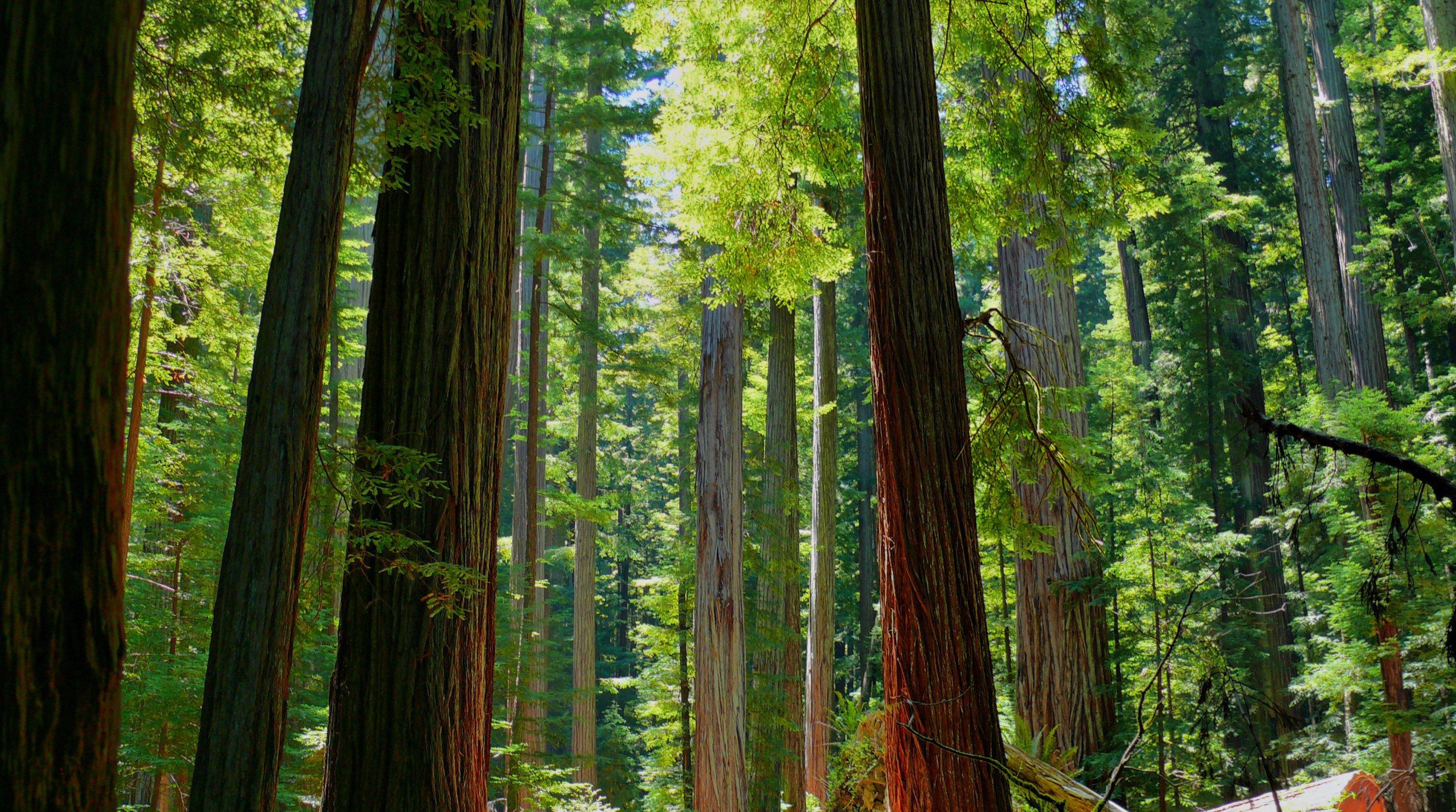 Redwood Computer Wallpaper