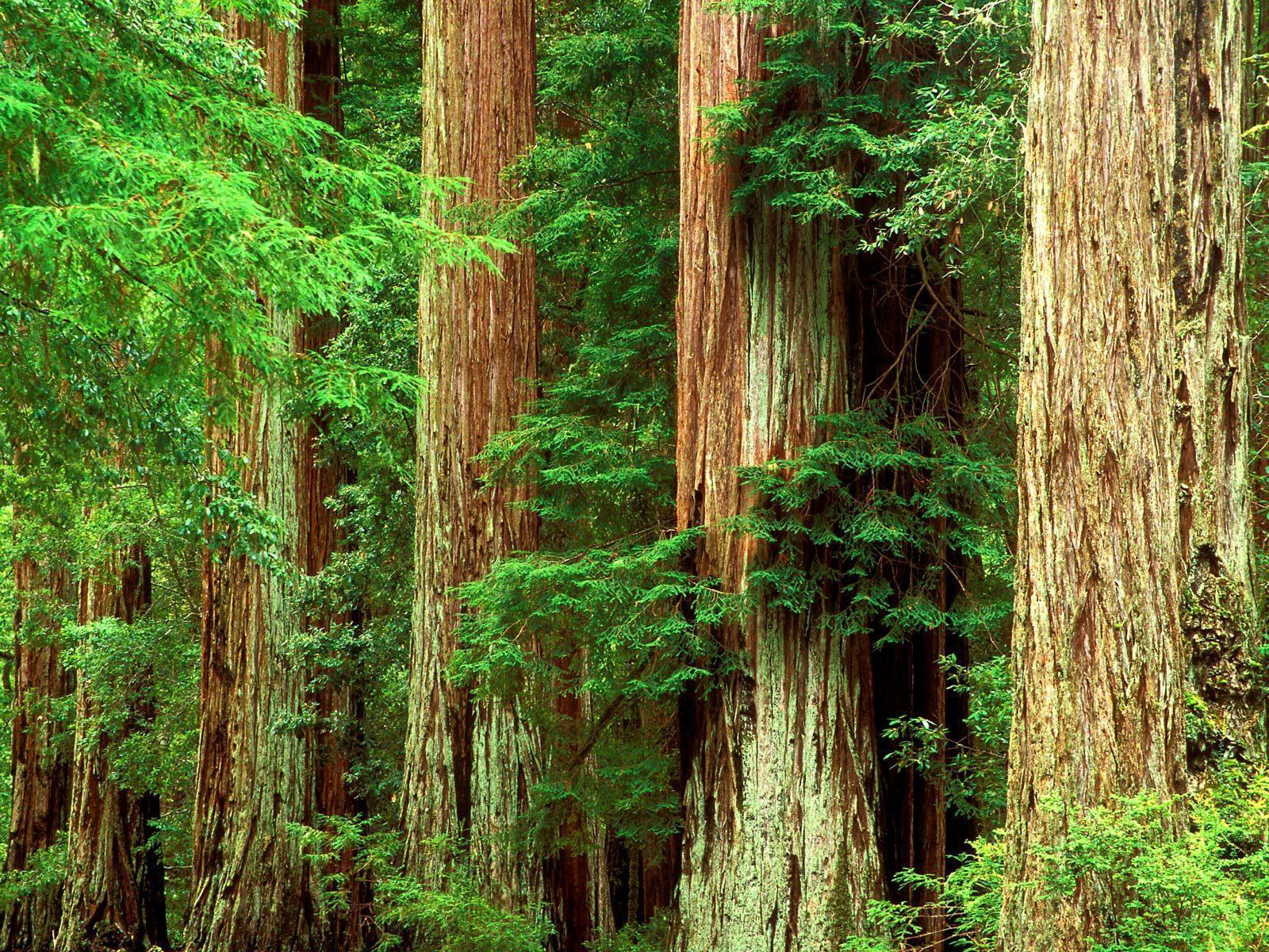 Redwood Wallpaper For Computer