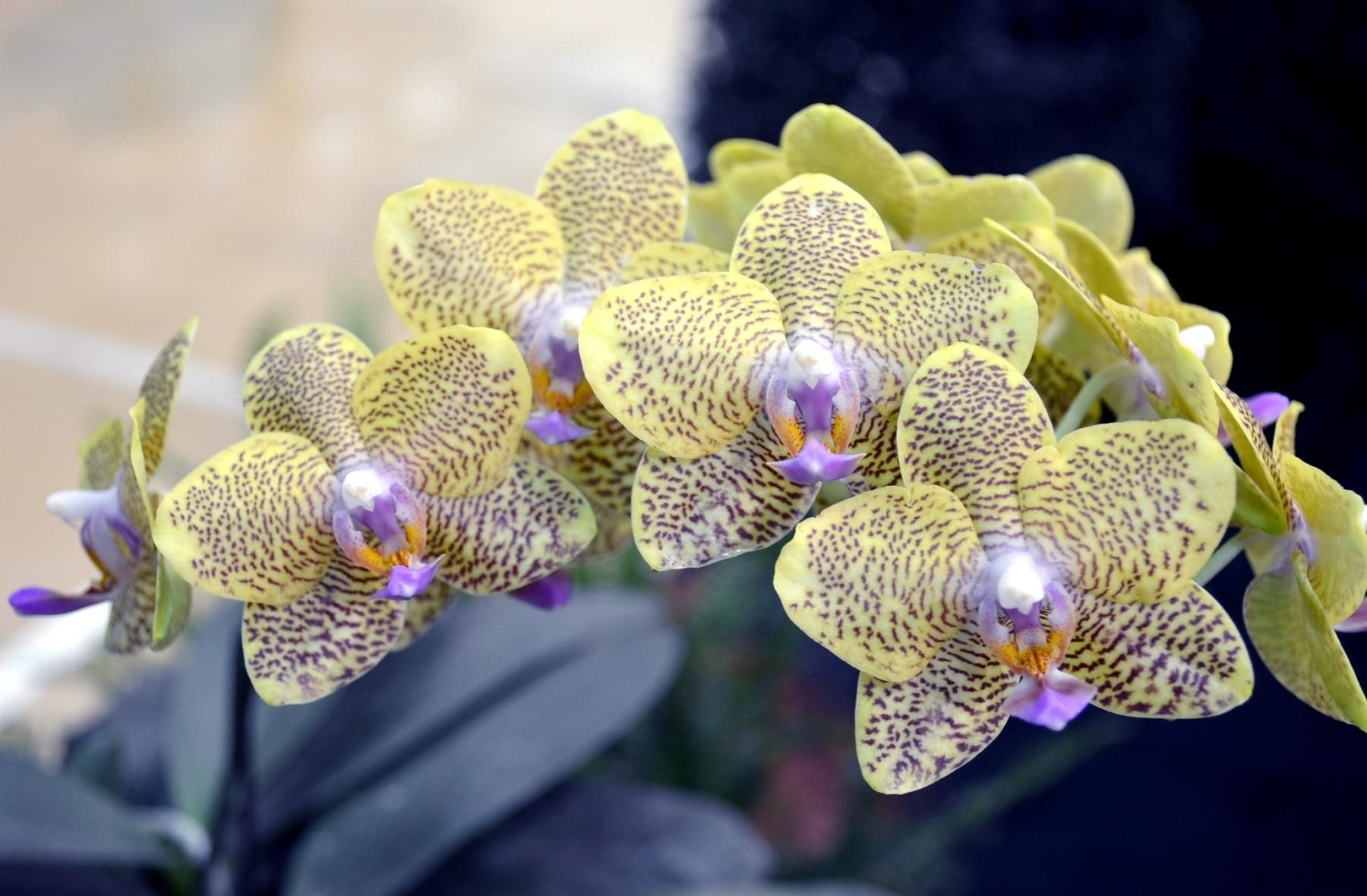 Shenzhen Nongke Orchid Download Free Backgrounds HD
