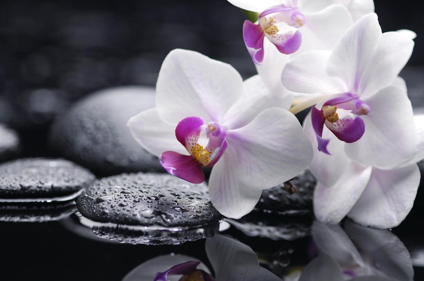 Shenzhen Nongke Orchid HD Wallpaper