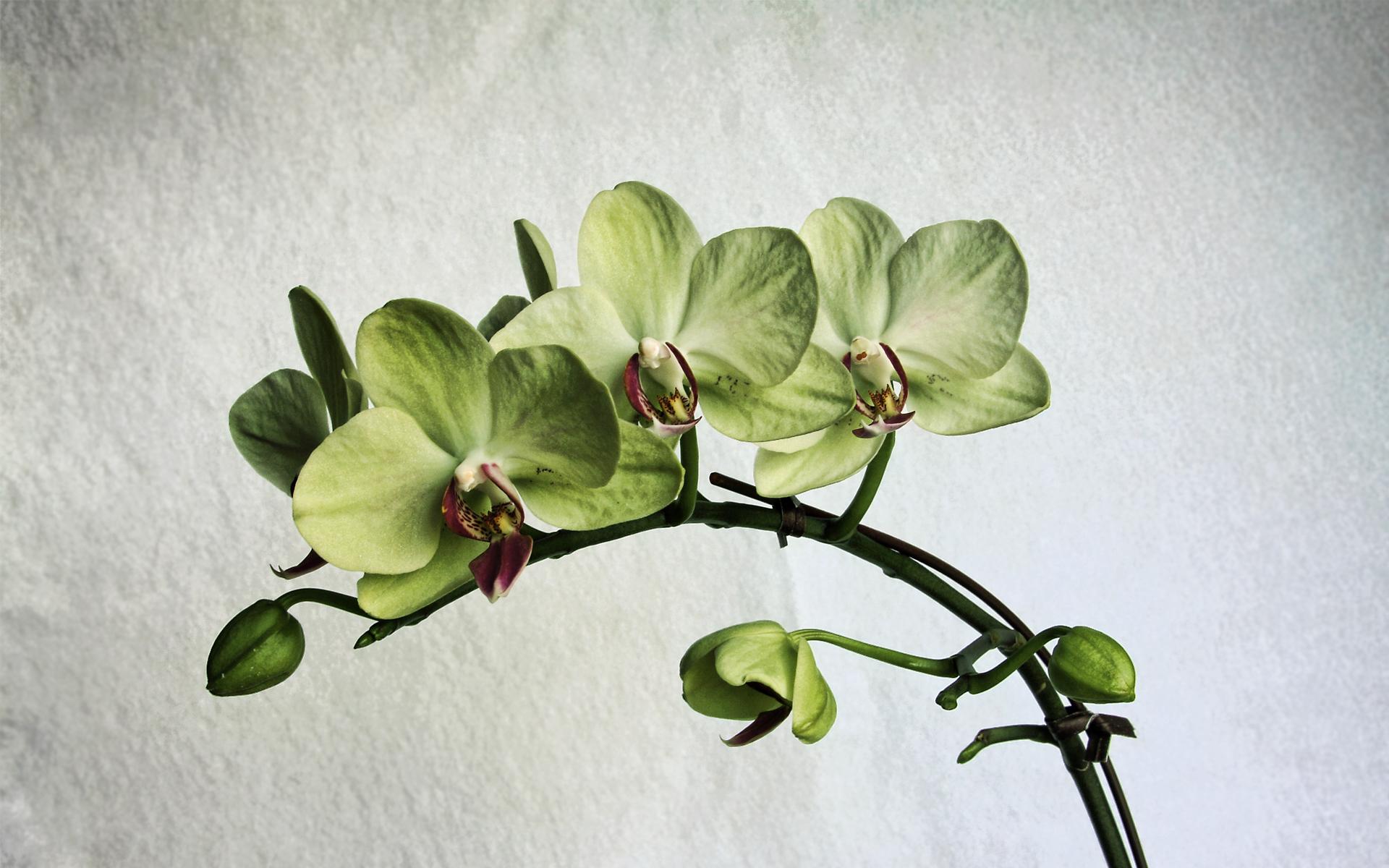 Shenzhen Nongke Orchid Wallpaper