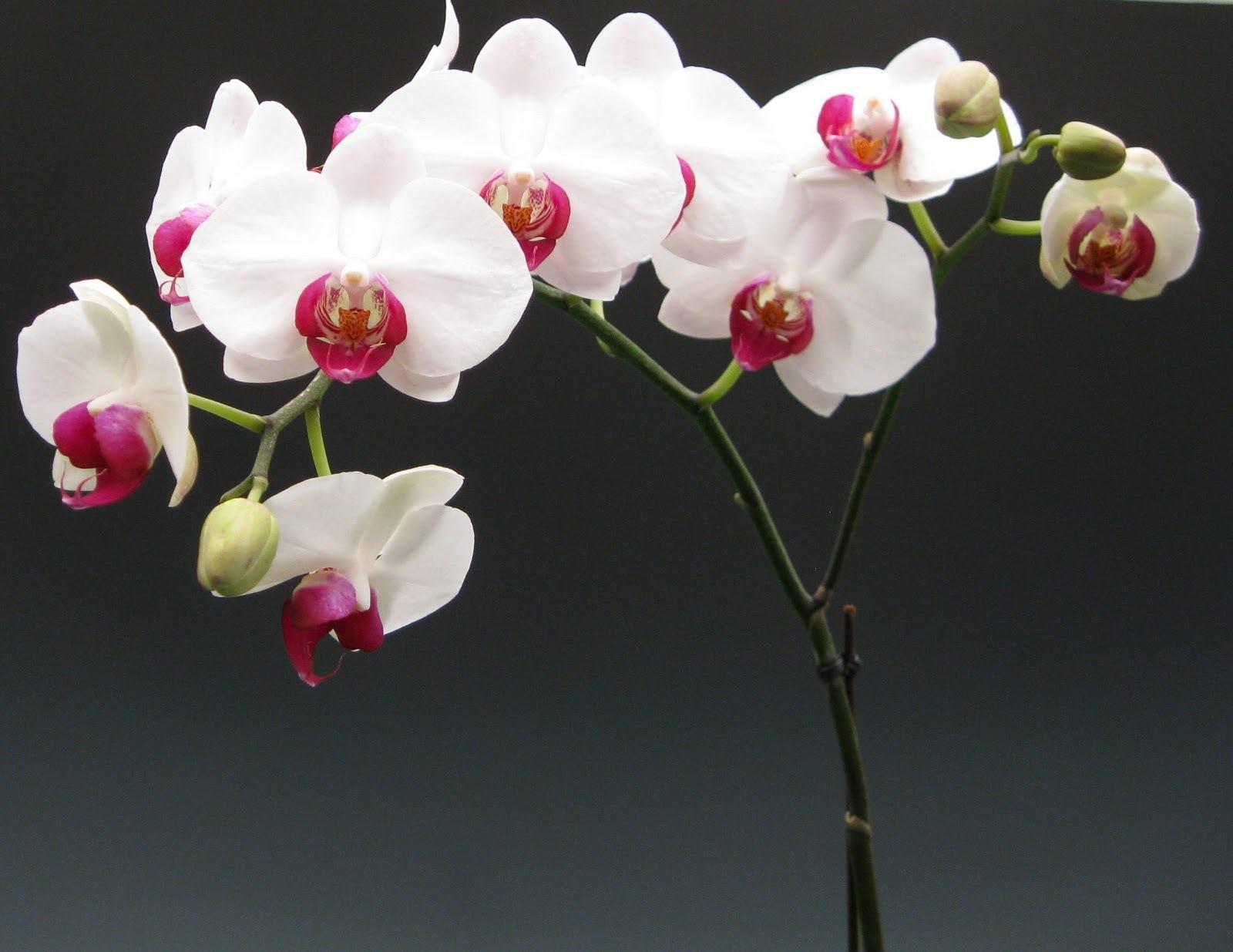Shenzhen Nongke Orchid For Desktop Background