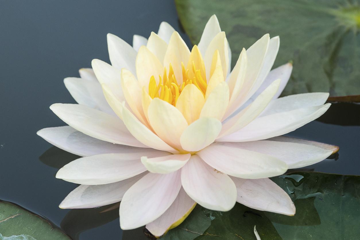 White Lotus HD Wallpaper