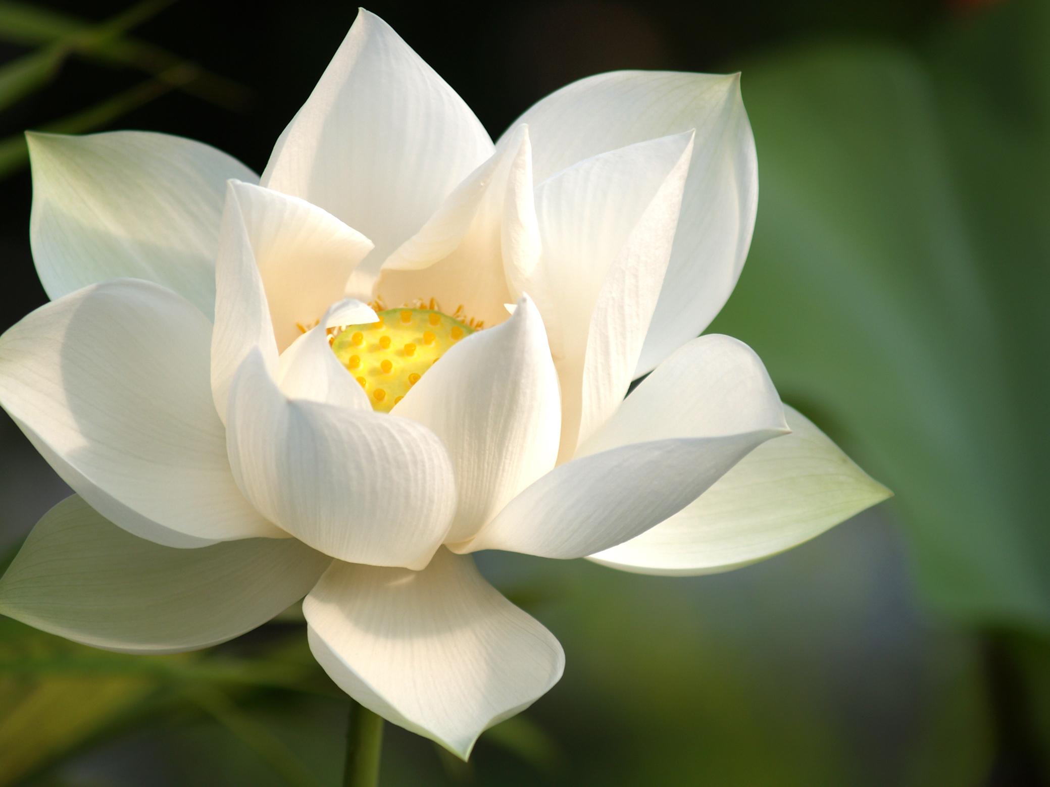 White Lotus Wallpapers