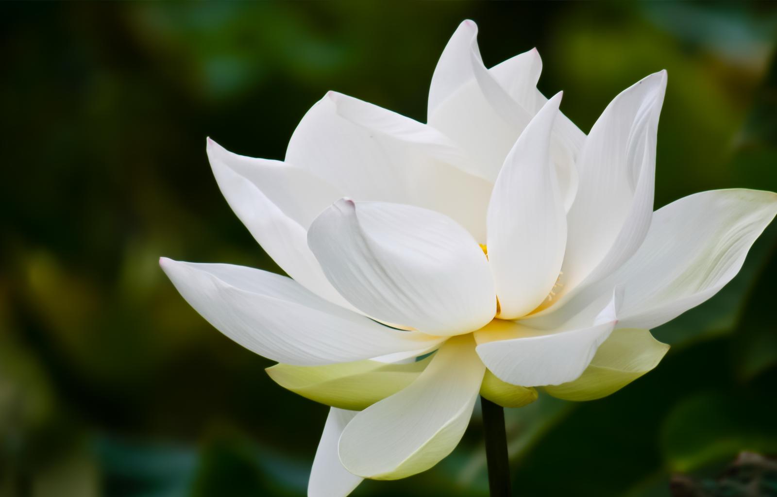 White Lotus Widescreen