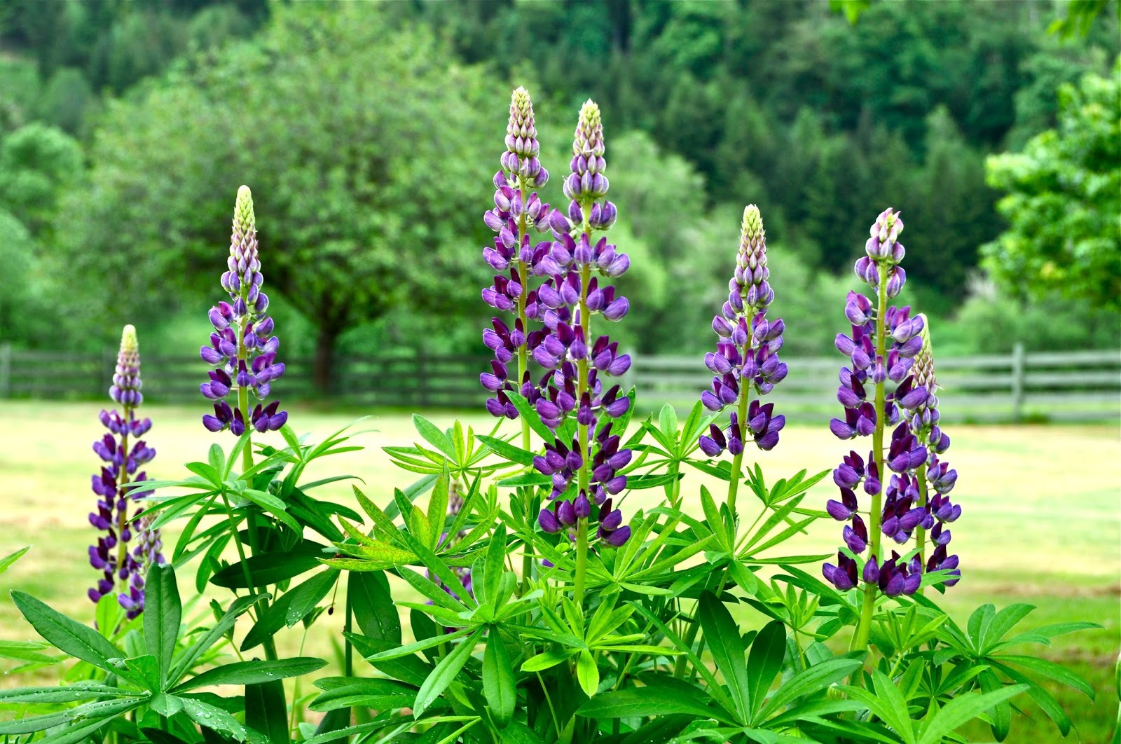 Wild Lupine Photos