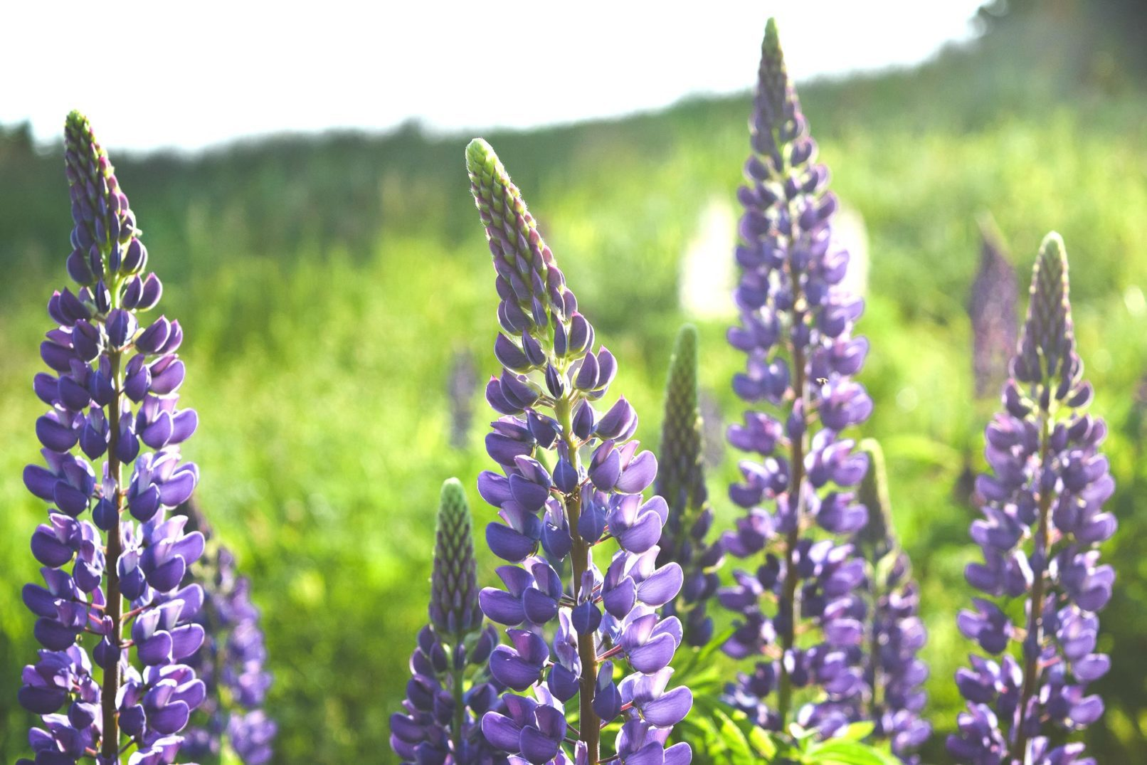Wild Lupine Wallpaper