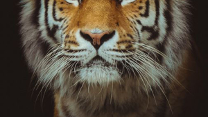 Tiger Desktop For Iphone