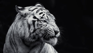 Tiger Free HD Wallpapers