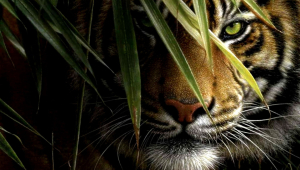 Tiger For Desktop Background
