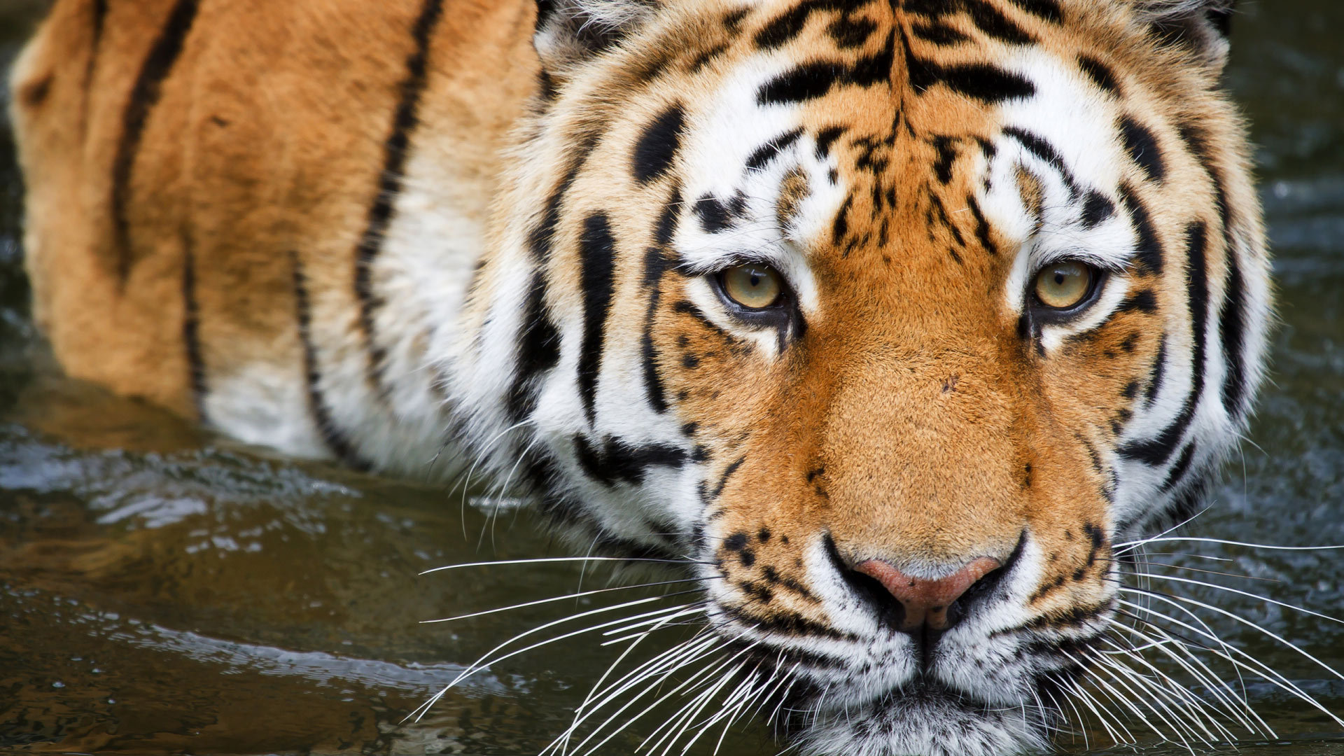 tiger wallpapers images photos pictures backgrounds
