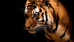 Cute Images Of Tigers