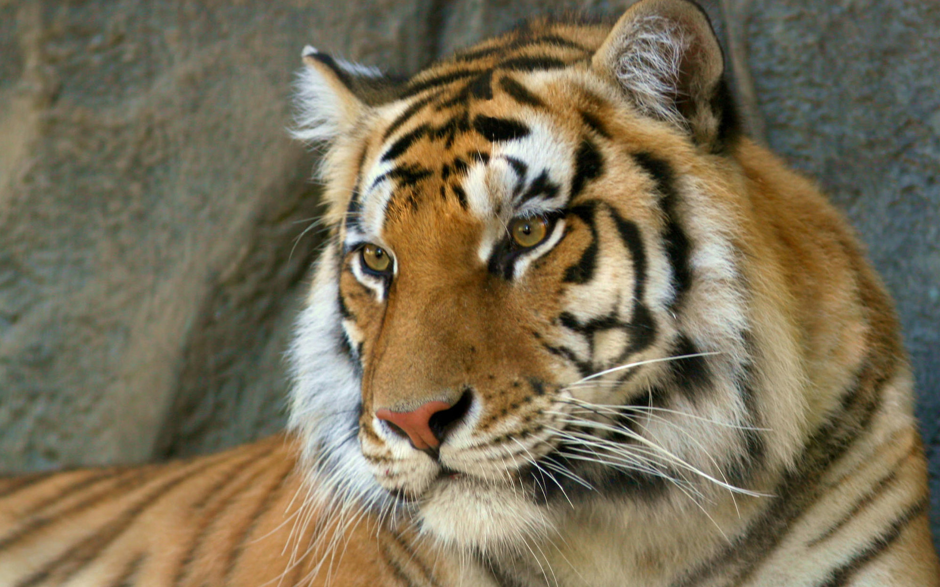 Funny Images Of Tigers