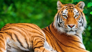 Images Of A Tiger