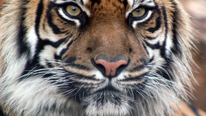 Images Of Tiger Faces