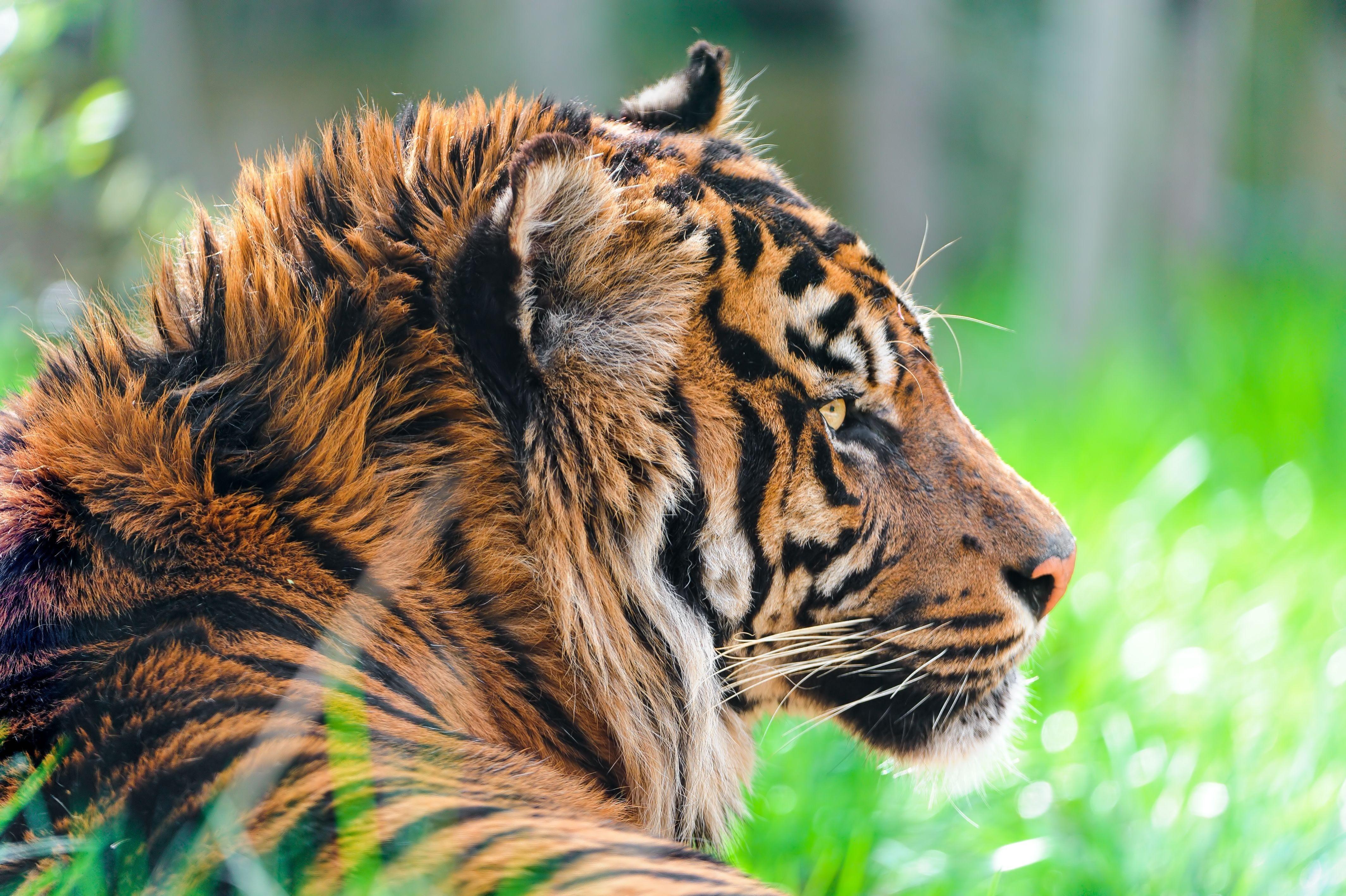 Tiger Desktop Background