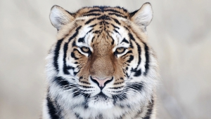 Tiger Image Hd