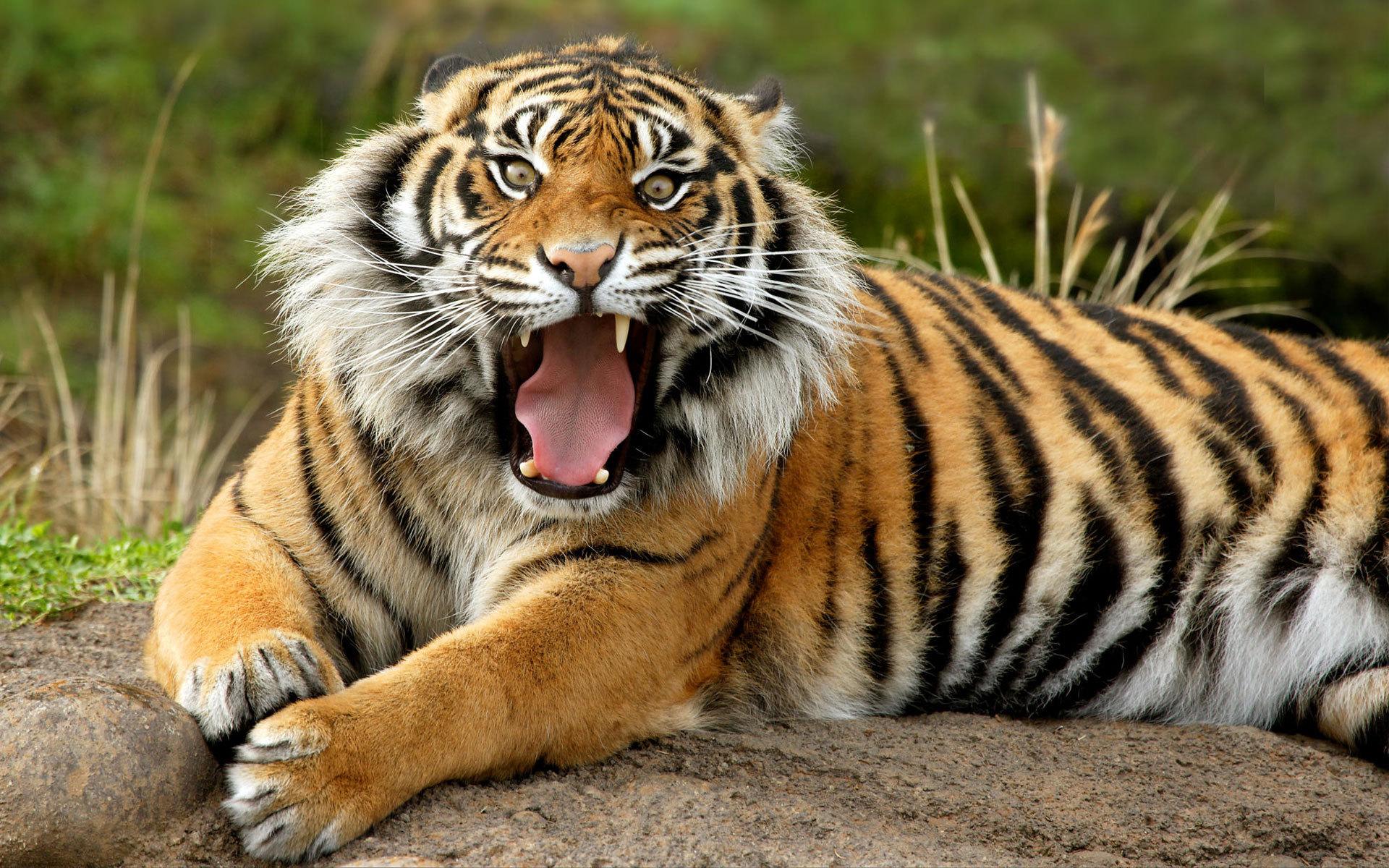 Tiger Image