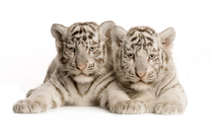 Cute Baby White Tiger Cubs Widescreen