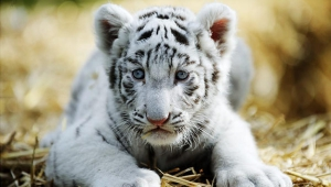 Cute White Tiger Baby