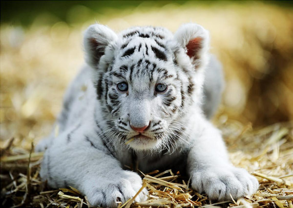 white tiger holding baby - photo #31
