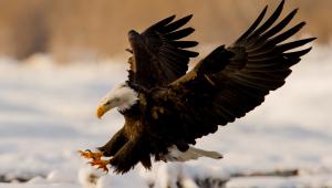 Eagle Photos