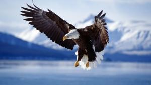 Eagle Wallpaper