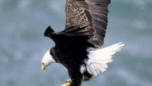 Eagle Iphone Background
