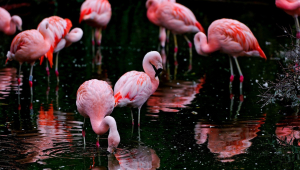 Flamingo HD Wallpaper