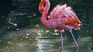 Flamingo Wallpapers HD