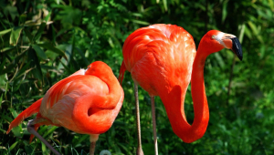 Flamingo Full HD