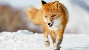 Fox Wallpapers HD