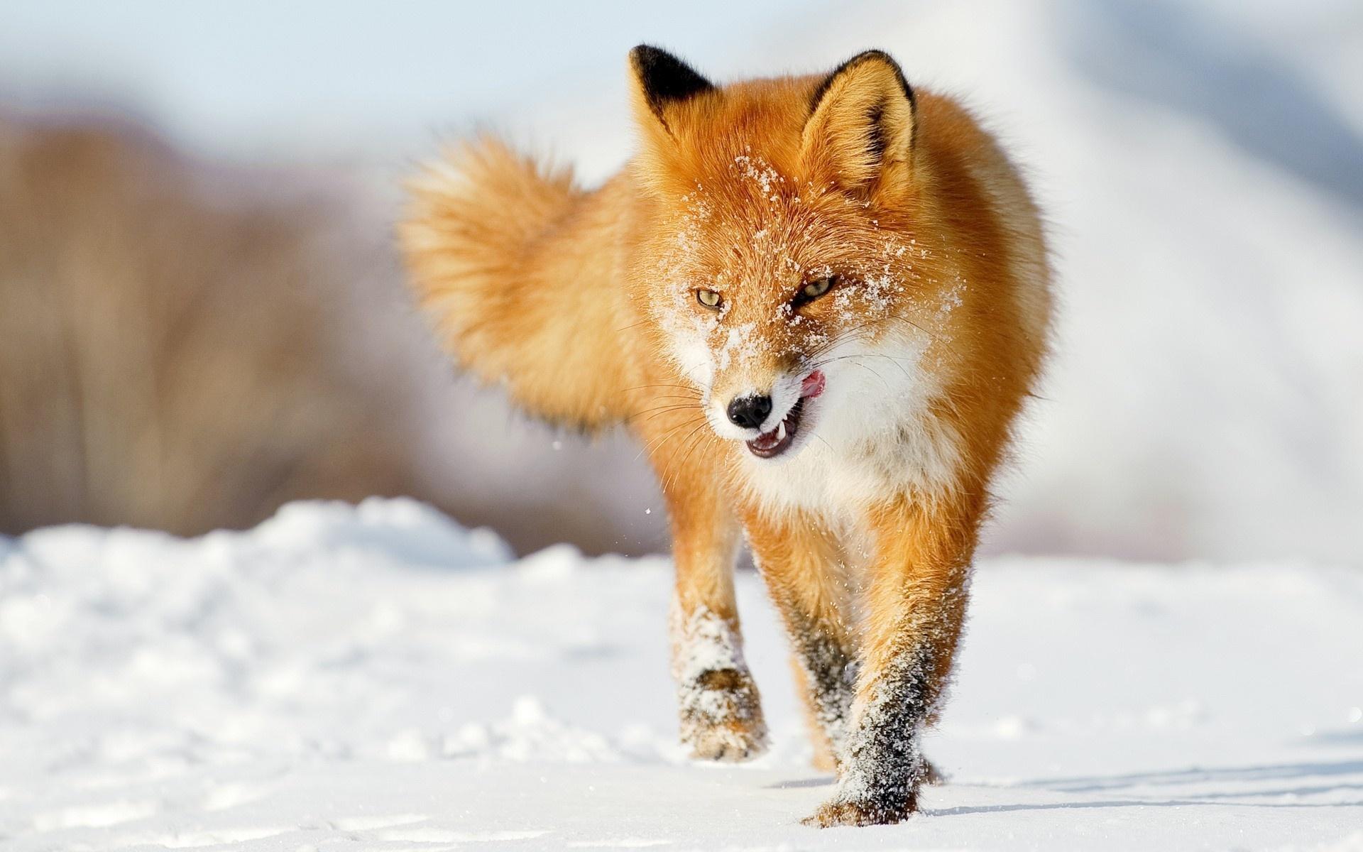 Fox Wallpapers HD