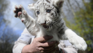 Funny White Tiger Cubs