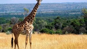 Giraffe 4K