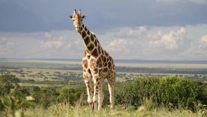 Giraffe HD Desktop