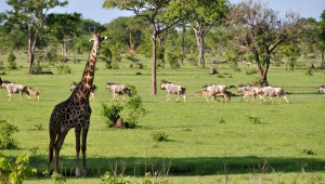 Giraffe High Definition