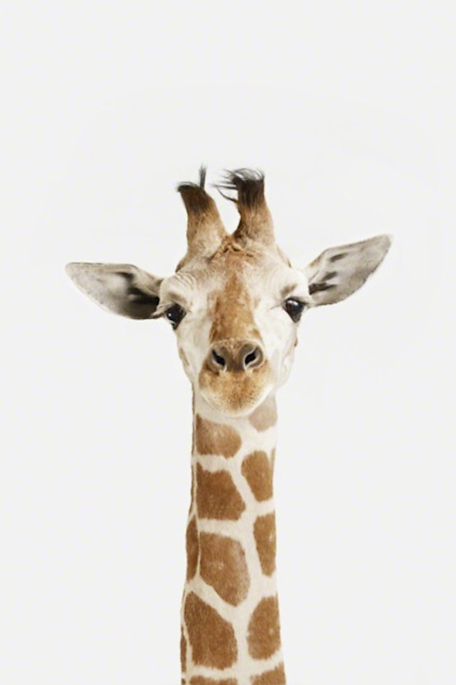 Giraffe High Quality Wallpapers For Iphone