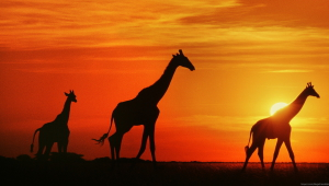 Giraffe Wallpaper