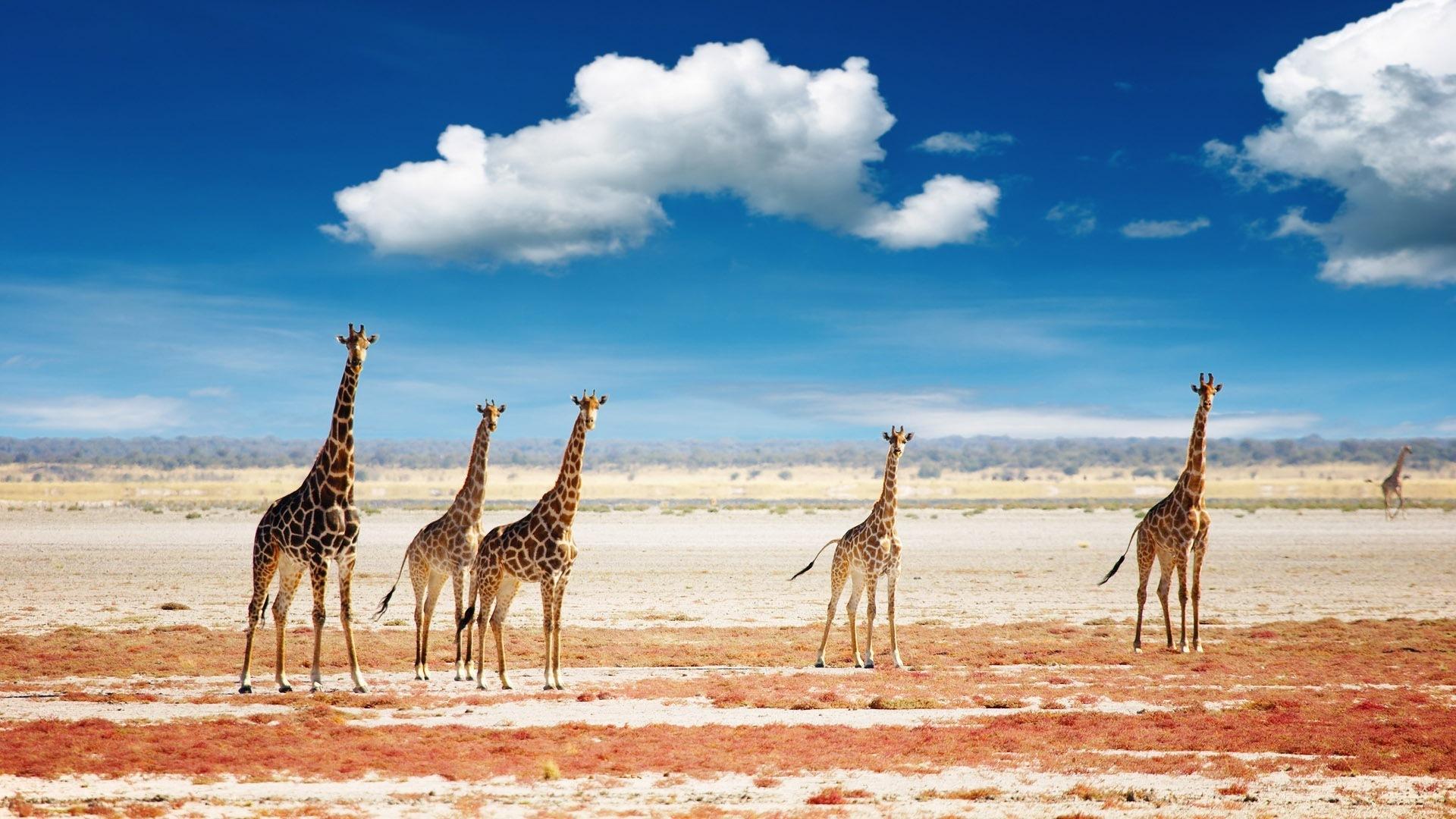 giraffe wallpaper for laptop
