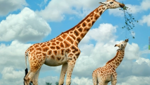 Giraffe Wallpapers HD