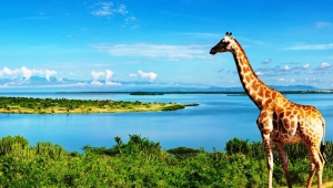 Giraffe For Desktop Background