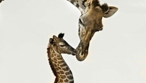 Giraffe Iphone HD Wallpaper