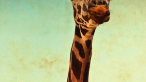 Giraffe Iphone Wallpapers
