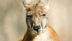 Kangaroo Android Wallpapers