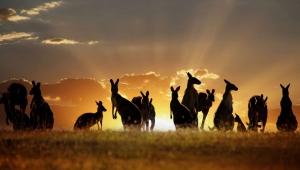 Kangaroo HD Pics