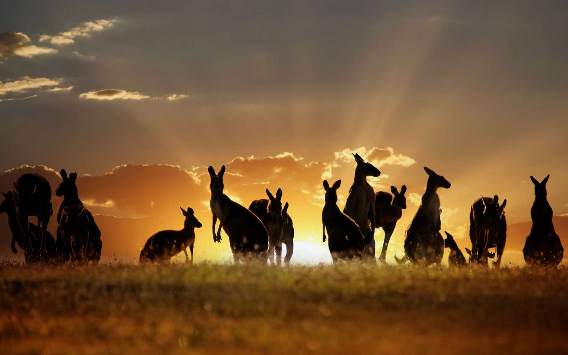 Kangaroo wallpapers images photos pictures backgrounds - All animals hd wallpapers ...