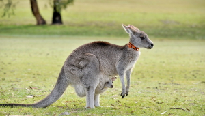 Kangaroo High Definition Wallpapers