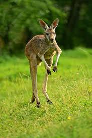 Kangaroo High Quality Wallpapers For Iphone